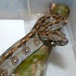 Půlroční mládě hroznýše královského (Boa constrictor imperator) F1 populace ze Salvadoru
