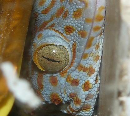 Gekon obrovský (Gekko gecko) samie střežící vejce