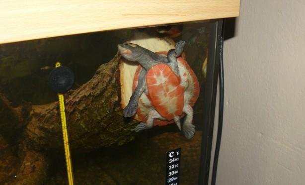 Líhnou se krátkokrčky červenobřiché (Emydura subglobosa)