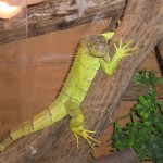 Leguán zelený (Iguana iguana rhinolopha)