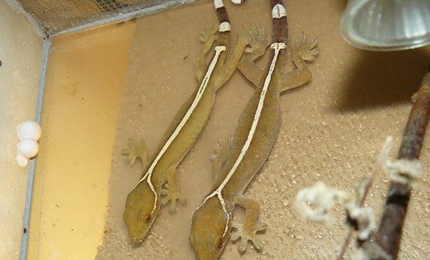 Doplnění chovu Gekonů páskovaných (Gekko vittatus)