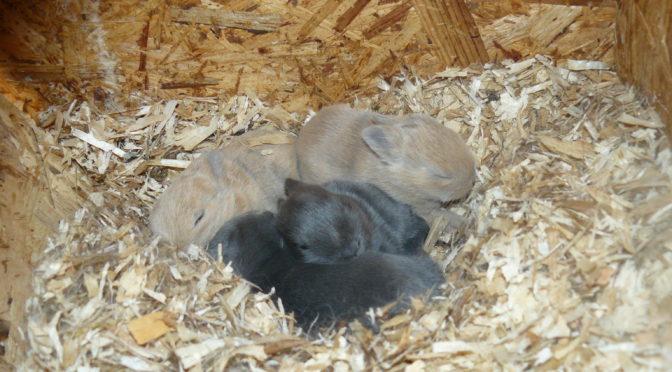 Narodili se malí králíčci