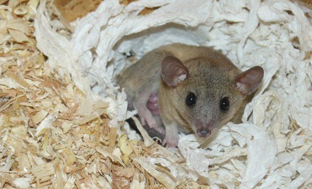 Naše mladá samička vačice krysí (Monodelphis domestica) porodila