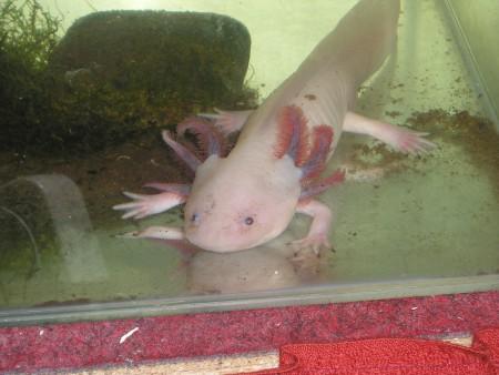 axolotl3