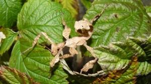 Strašilka australská (Extatosoma tiaratum  )