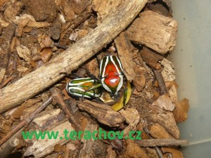 Dicronorhina derbyana layrdi